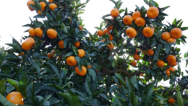 飛田柑橘園
